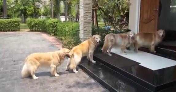 Hun hører en lyd utenfor døren. Når hun ser ut? Følg nøye med på hundene!