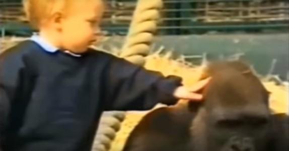 Hun vokste opp med gorillaer, men det er mange år siden. Se hva som skjer når de blir gjenforent!