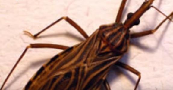 Dette er ikke et vanlig insekt. Om du ser en, IKKE gå nær den. Grunnen? Skummelt!