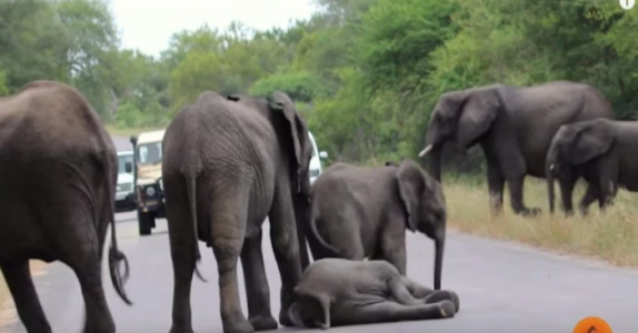Babyelefanten kollapser på veien. Ingen hadde trodd at familien skulle reagere slik!