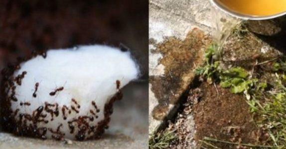 ALDRI mer maur i hus eller i hagen. Disse billige og giftfrie triksene er det få som kjenner til!