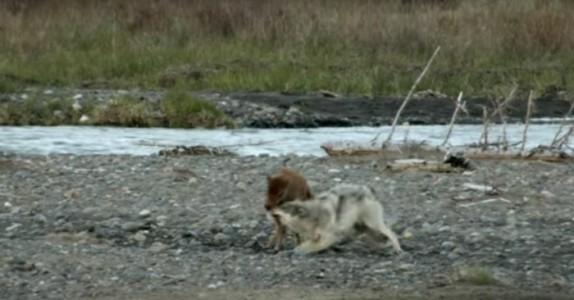 Ulven bestemmer seg for å angripe den lille baby-bisonen. Men det som skjer da? WOW!